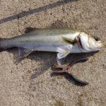 地蔵浜の釣り場紹介と春のエビ撒き釣り釣行記