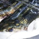 タチウオを釣るつもりがサバしか釣れなかった夜の旧水上警察