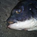 2月の旧水上けいさつ波止でエビ撒き釣りハネ・チヌ釣行記と予知能力のある強盗ネコ
